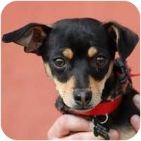 Chihuahua/Miniature Pinscher Mix Puppy for adoption in Denver, Colorado - Junior