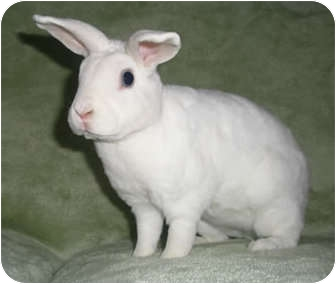 Dwarf Hotot Mix for adoption in Franklin, Tennessee - Frankie