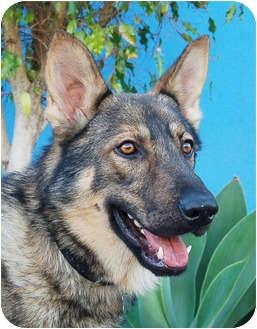 German Shepherd Dog Dog for adoption in Los Angeles, California - Atlas von Augsburg