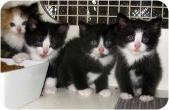 Maine Coon Kitten for adoption in Dallas, Texas - Maine Coon x kittens