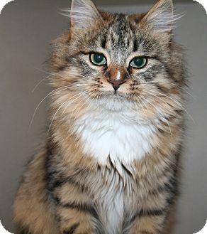 Domestic Longhair Kitten for adoption in Edmonton, Alberta - Dreamer