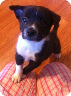 Border Collie Mix Puppy for adoption in Plainfield, Illinois - Daisy