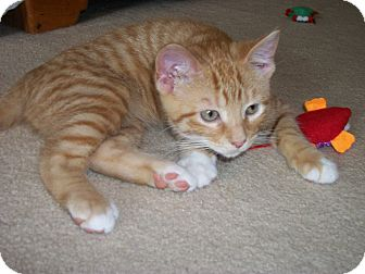 Domestic Shorthair Kitten for adoption in China, Michigan - Chase