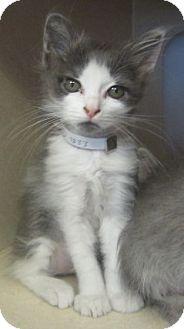 Domestic Shorthair Kitten for adoption in Westminster, California - Gingerale