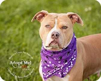 Staffordshire Bull Terrier/Pit Bull Terrier Mix Dog for adoption in Medina, Ohio - Cali