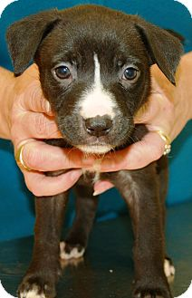 German Shepherd Dog/Terrier (Unknown Type, Medium) Mix Puppy for adoption in Washington, D.C. - Precious