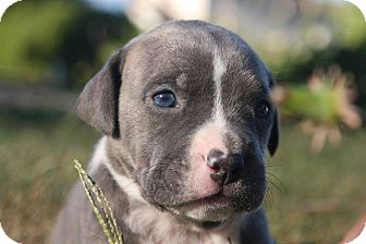Pit Bull Terrier Mix Puppy for adoption in Wethersfield, Connecticut - Wells