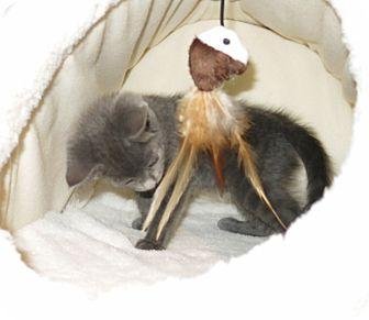Domestic Shorthair Kitten for adoption in Geneseo, Illinois - Indigo