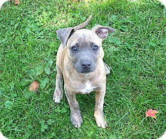 Labrador Retriever Mix Puppy for adoption in Philadelphia, Pennsylvania - Candice