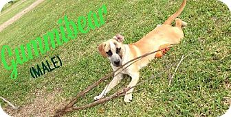 Boxer Mix Dog for adoption in Olympia, Washington - Gummi Bear