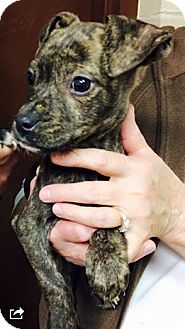 Boxer Mix Puppy for adoption in Barnegat, New Jersey - Laycie