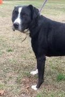 Pit Bull Terrier/Labrador Retriever Mix Dog for adoption in Mount Pleasant, South Carolina - Oreo