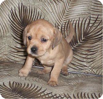Cocker Spaniel/Manchester Terrier Mix Puppy for adoption in Long Beach, California - Dust Pelt