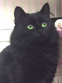 Domestic Mediumhair Cat for adoption in Oakland, Oregon - Effie
