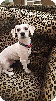Maltese Mix Dog for adoption in Valencia, California - Papi