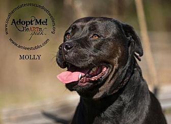 American Pit Bull Terrier/Rottweiler Mix Dog for adoption in White Hall, Arkansas - Molly