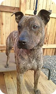 Staffordshire Bull Terrier Mix Puppy for adoption in Apache Junction, Arizona - Mystrie