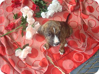 Shepherd (Unknown Type)/Plott Hound Mix Puppy for adoption in Old Bridge, New Jersey - Darius