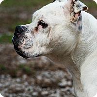Adopt A Pet :: Harrah - Greensboro, NC