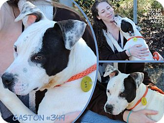 Pit Bull Terrier Mix Dog for adoption in Milton, New York - Jax