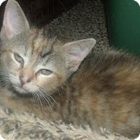 Adopt A Pet :: TOOTSIE - Acme, PA