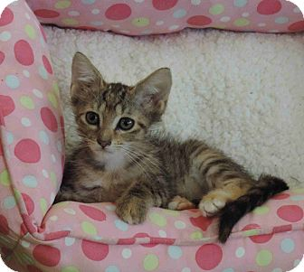 Domestic Shorthair Kitten for adoption in Plano, Texas - CAROL - WANTS A FOREVER FAMILY