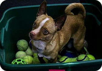 Chihuahua Mix Dog for adoption in Mukwonago, Wisconsin - Bing