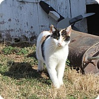 Domestic Shorthair Cat for adoption in Harrisonburg, Virginia - Marzipan