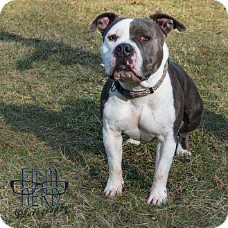 Pit Bull Terrier Mix Dog for adoption in Centerburg, Ohio - Dodge