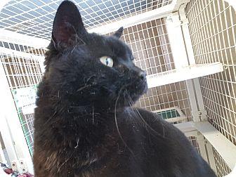 Domestic Shorthair Cat for adoption in Douglas, Wyoming - Kit-Kat
