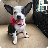 Adopt A Pet :: Punky's Puppies - Pittsburgh, PA