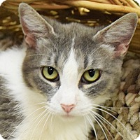Domestic Mediumhair Cat for adoption in Huntley, Illinois - Maryanne
