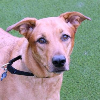 German Shepherd Dog/Retriever (Unknown Type) Mix Dog for adoption in Loxahatchee, Florida - Vera