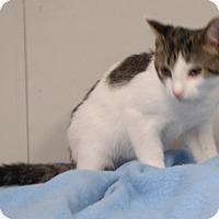 Domestic Shorthair Kitten for adoption in Somerset, Kentucky - Austin