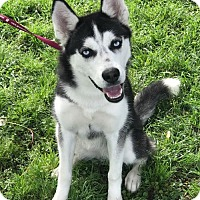 Adopt A Pet :: Shasta - Dallas, TX