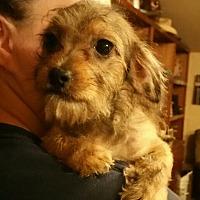 Adopt A Pet :: Pebbles - springtown, TX