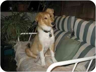 Collie Puppy for adoption in Gardena, California - Abbie