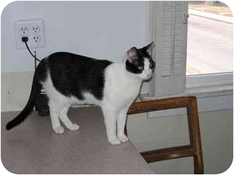 Domestic Shorthair Cat for adoption in North Boston, New York - Sassy2