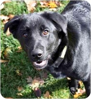 Labrador Retriever Mix Puppy for adoption in Phoenix, Oregon - Blaze