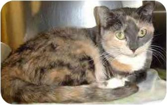 Domestic Shorthair Cat for adoption in San Diego, California - Mia