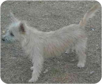 Cairn Terrier Dog for adoption in Mesa, Arizona - Sophia