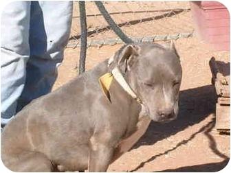 American Pit Bull Terrier Dog for adoption in Anton, Texas - Jake