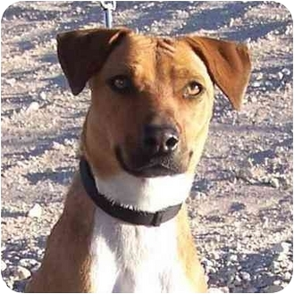 Jack Russell Terrier/Shepherd (Unknown Type) Mix Dog for adoption in Las Vegas, Nevada - Daphne