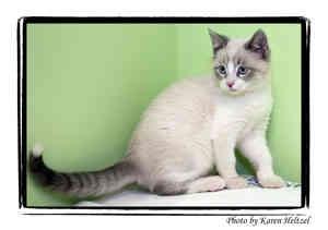 Siamese Kitten for adoption in Warren, Pennsylvania - Hickory