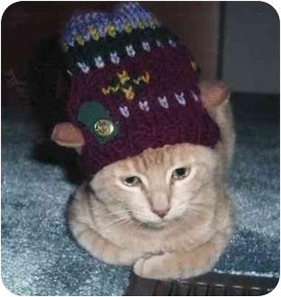 Domestic Shorthair Cat for adoption in Toronto, Ontario - Cohen