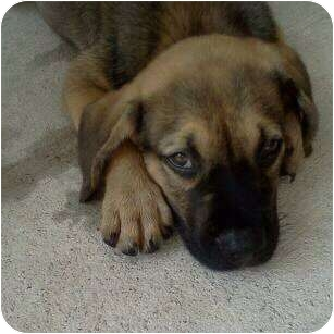 Shepherd (Unknown Type)/Beagle Mix Puppy for adoption in Callahan, Florida - Lego