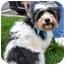 Photo 2 - Shih Tzu/Poodle (Miniature) Mix Dog for adoption in Overland Park, Kansas - Sadie