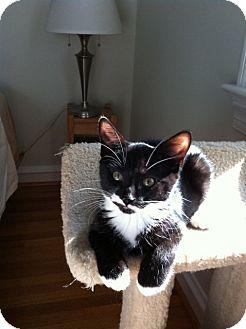 Domestic Shorthair Kitten for adoption in Jenkintown, Pennsylvania - Mickey