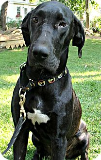 Great Dane/Labrador Retriever Mix Puppy for adoption in Manchester, Connecticut - Skye