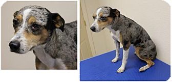 Rat Terrier/Catahoula Leopard Dog Mix Dog for adoption in Haughton, Louisiana - Sabine kill shelter (Cami)